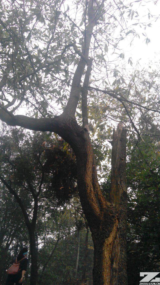 向上生长的树
