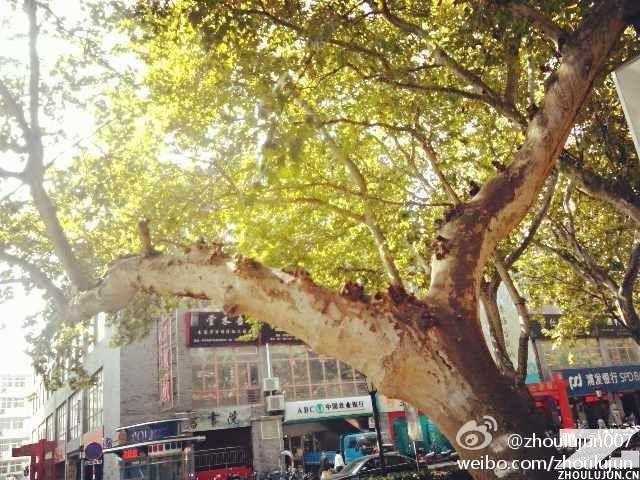 周陆军拍的梧桐树