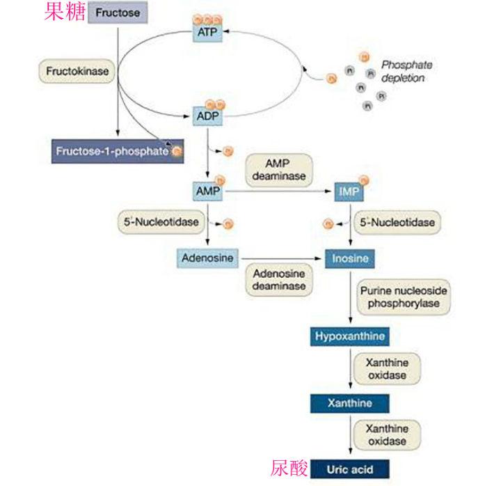 果糖的代谢产物是尿酸
