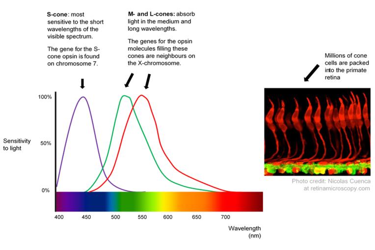 视锥细胞与色彩识别