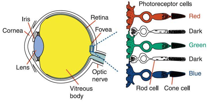 人眼视锥细胞分布